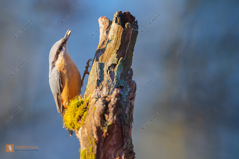 Kleiber auf einem Baumstumpf