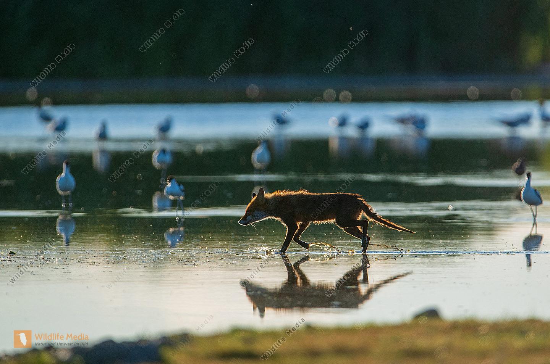 Fuchs im Flachwasser