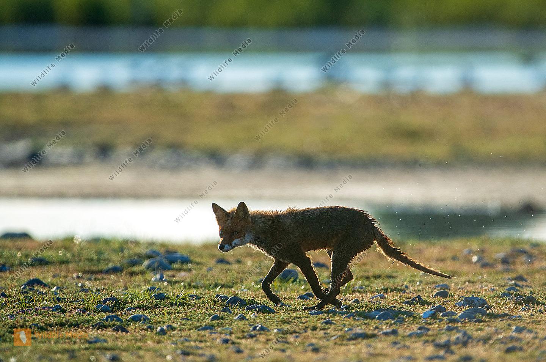 Fuchs im Gegenlicht