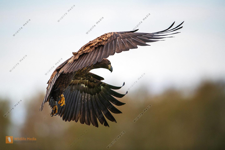 Junger Seeadler im Flug