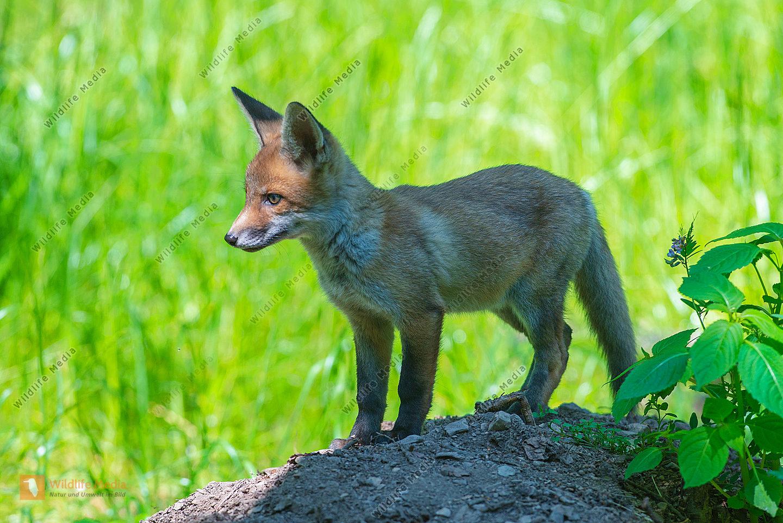 Junger Fuchs im Gegenlicht