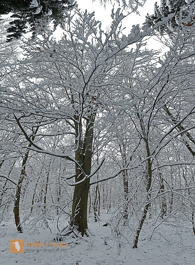 Buche im Schnee Panorama