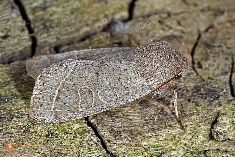 Rundflügel-Kätzcheneule
