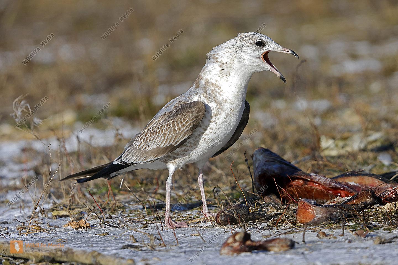 Sturmmöwe Jungvogel erster Winter
