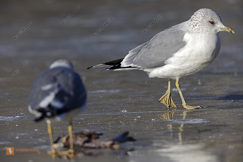 Sturmmöwe Altvogel