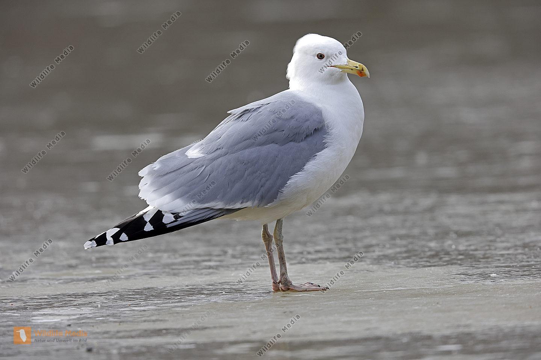 Steppenmöwe Altvogel