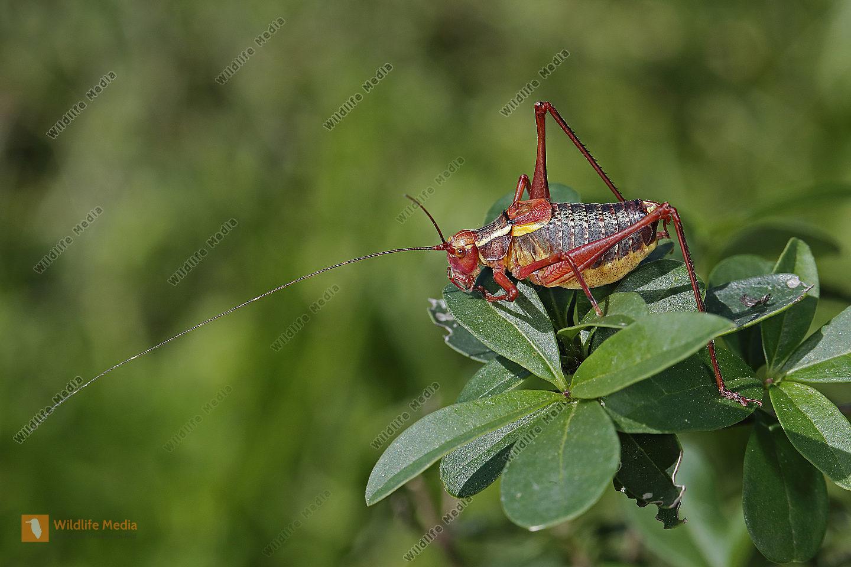 Laubholz-Säbelschrecke Männchen
