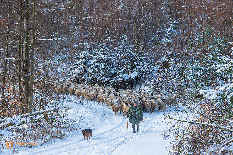 Schafherde im Winter