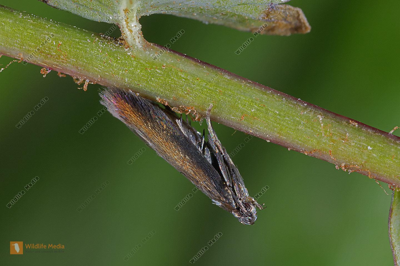 Wiesenknopf-Schopfstirnfalter