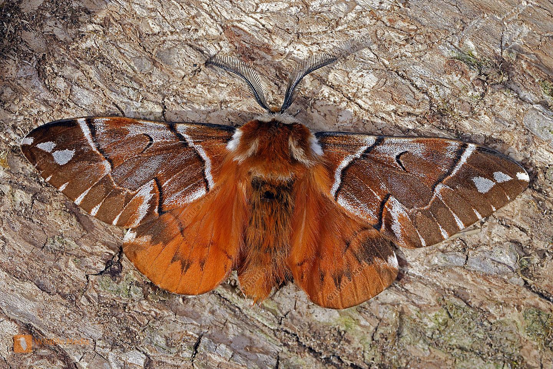 Birkenspinner Männchen