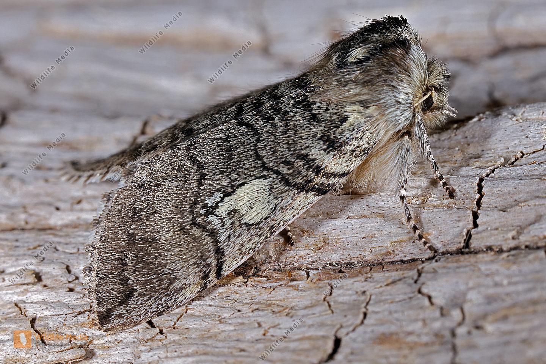 Gelbhorn-Eulenspinner