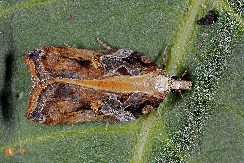 Wickler Acleris cristana