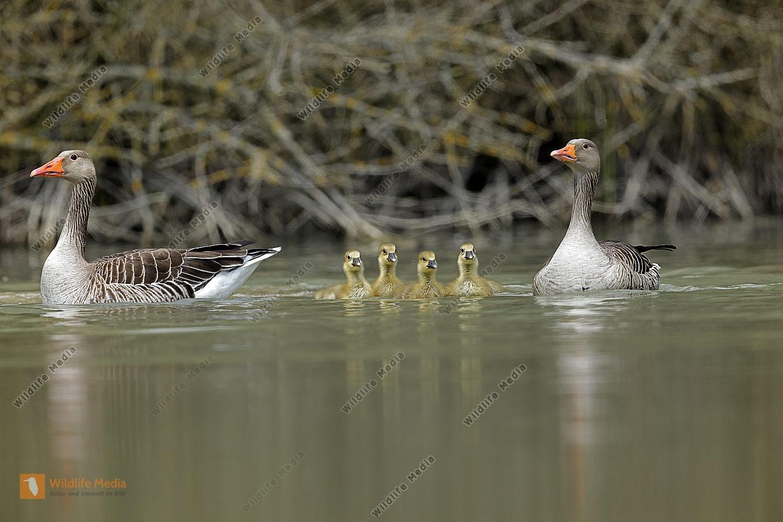 Graugans Familie