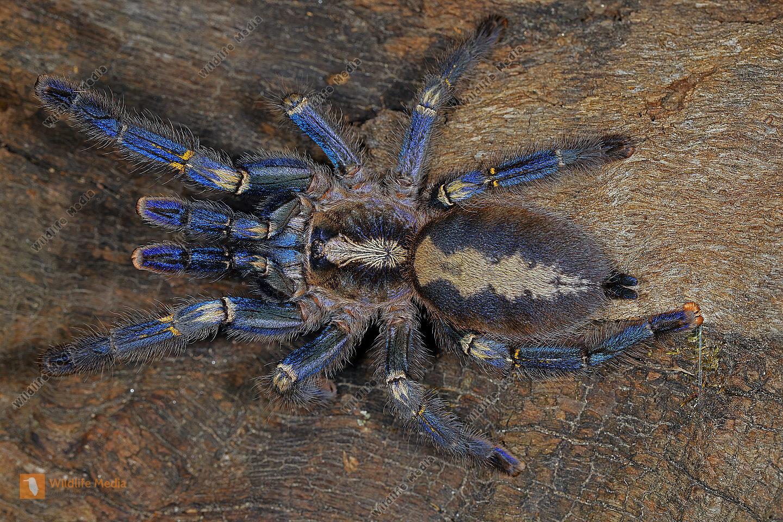 Blaue Ornament-Vogelspinne Weibchen