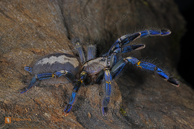 Blaue Ornament-Vogelspinne Weibchen drohend