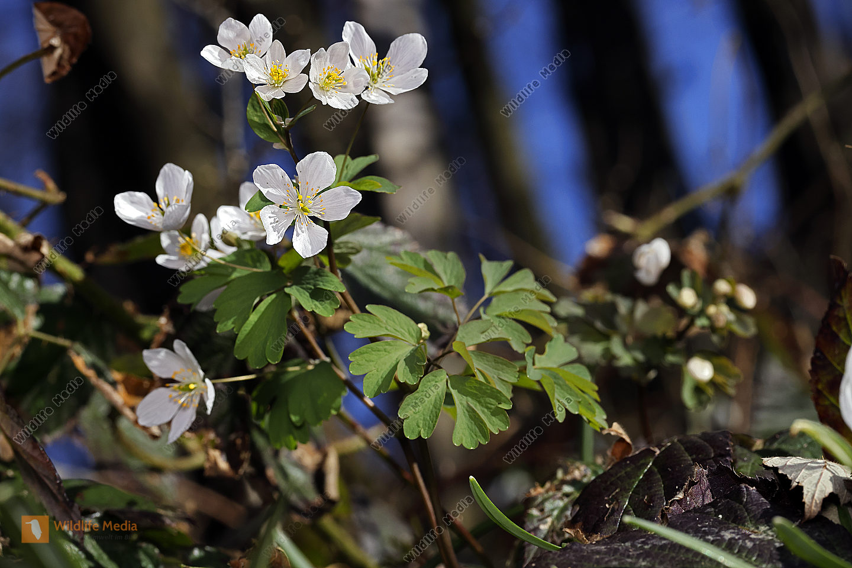 Wiesenrauten-Muschelblümchen