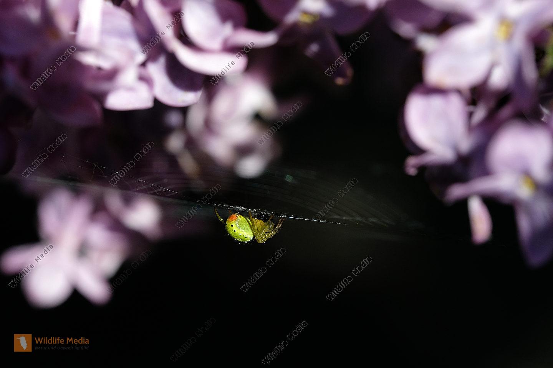 Kürbisspinne
