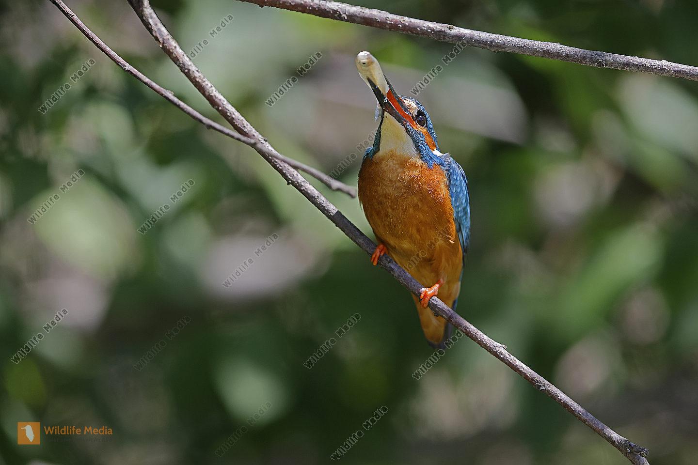 Eisvogel Männchen
