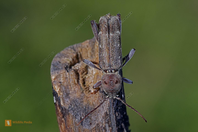 Bockkäfer Xylotrechus stebbingi