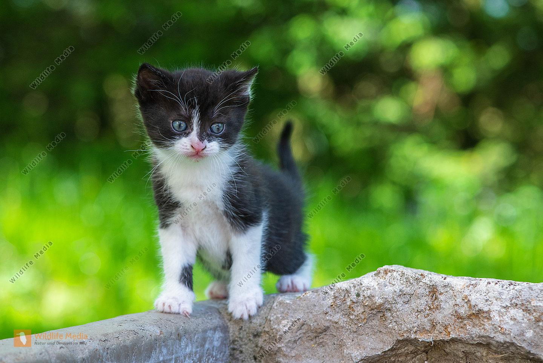 Junge Hauskatze