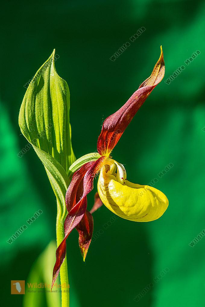 Gelber Frauenschuh Cypripedium calceolus im Gegenlicht
