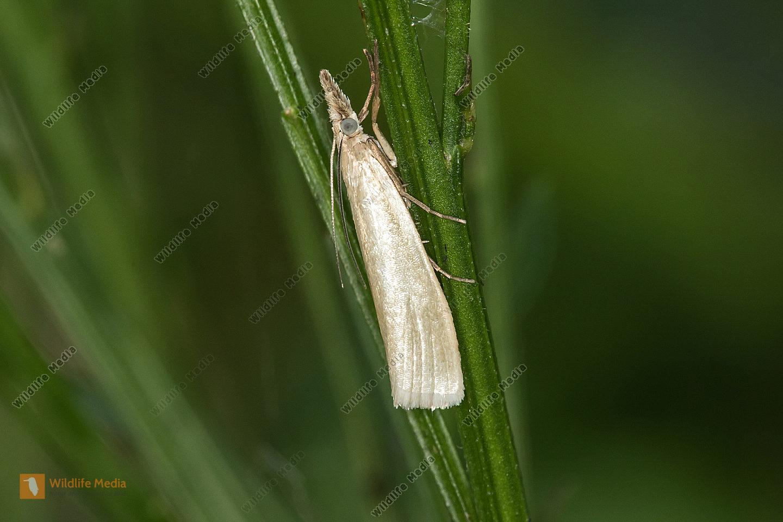 Ein weißer Graszünsler in Ruhestellung