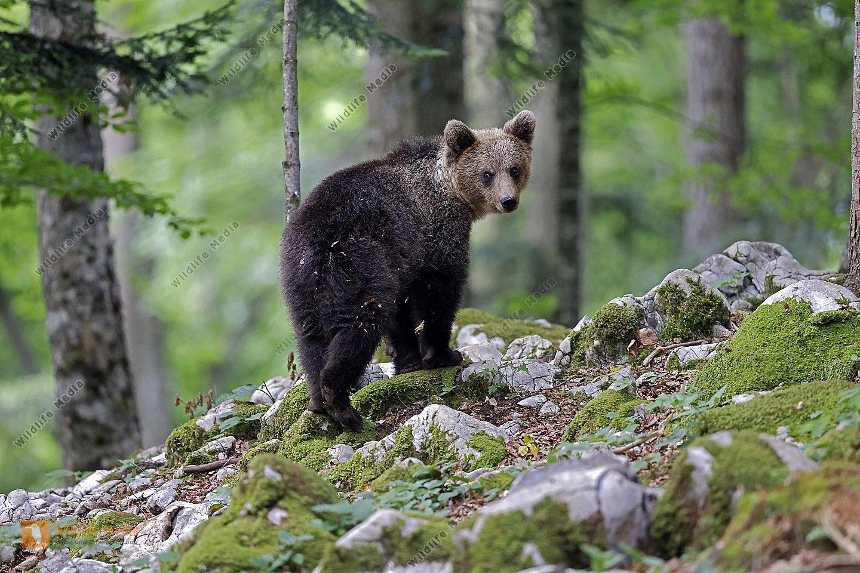 Europäischer Braunbär halberwachsen