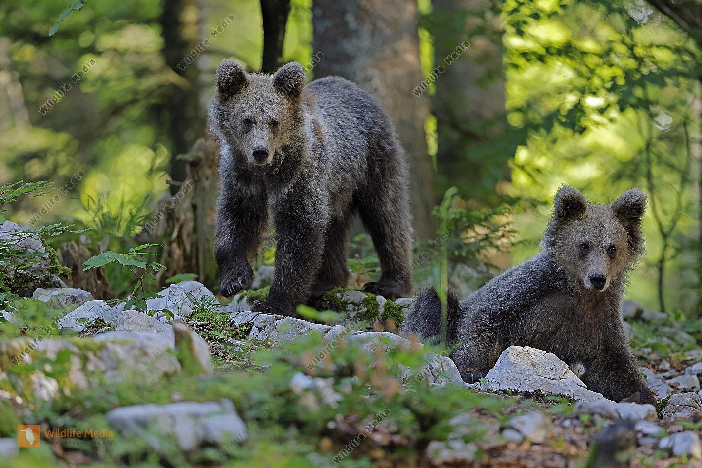 Europäischer Braunbär Jungtier