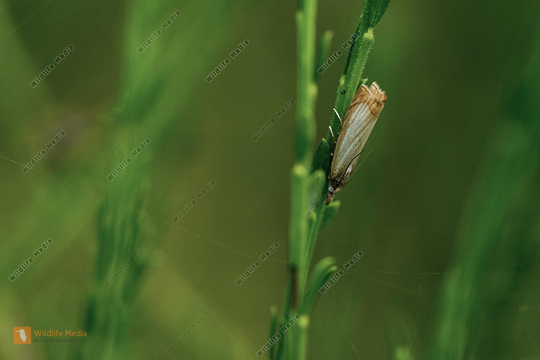 Rispengraszünsler Chrysoteuchia culmella