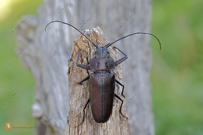 Mulmbock Männchen