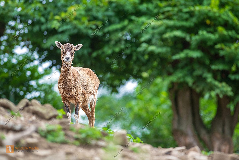 Europäisches Mufflon Ovis gmelini musimon