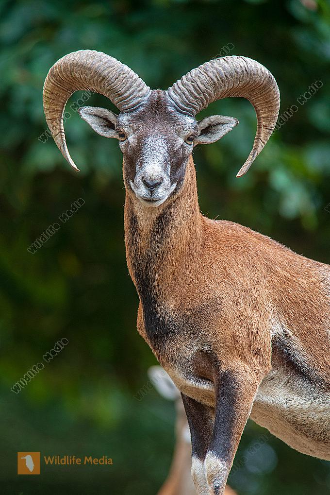 Europäischer Mufflon Ovis gmelini musimon