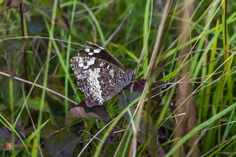Ein Weißer Waldportier in Ruhestellung. Blick auf die Flügelunterseite.