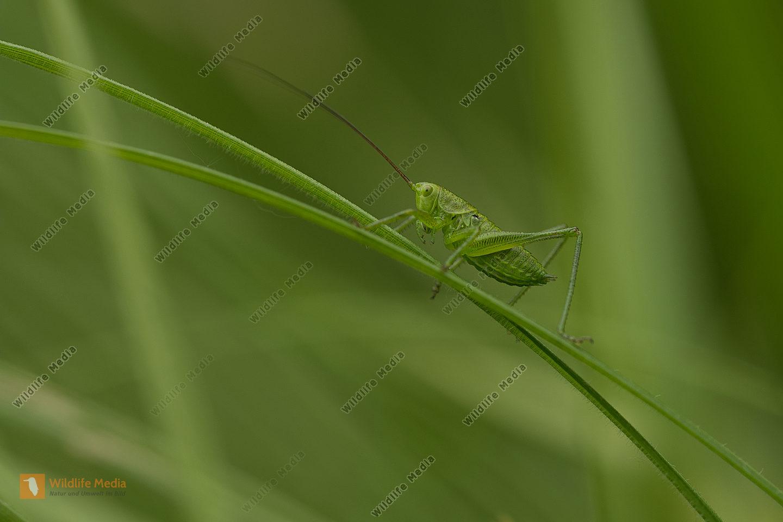 Grünes Heupferd