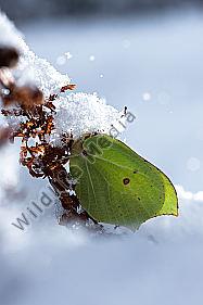 Zitronenfalter Raupe - Wildlife Media Die Naturbildagentur