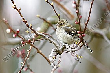 Finkenvogel Wildlife Media Die Naturbildagentur